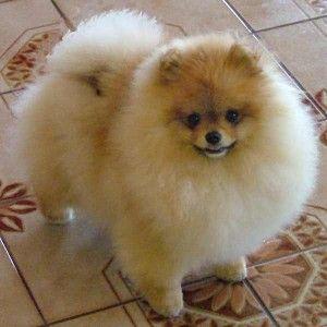 Немецкая порода маленьких собак кляйншпиц на фото. Фото малого шпица.