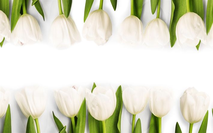 Download wallpapers white tulips, spring flowers, floral background, tulips, spring