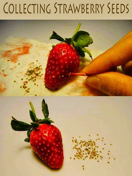 How to collect  strawberry seeds.