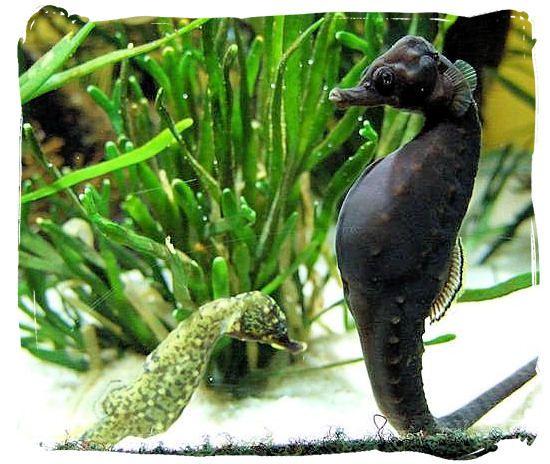 Knysna National Lake Area,...  The very rare Knysna seahorse