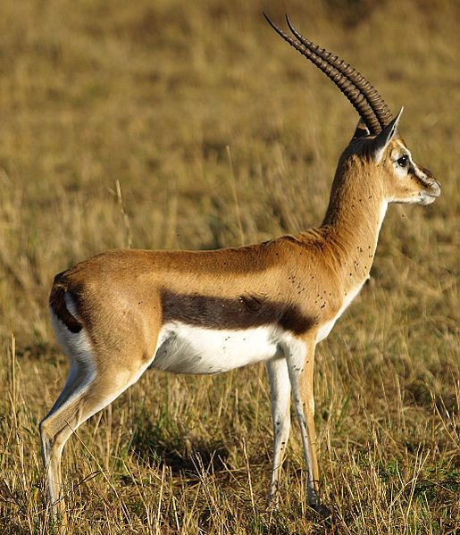 Thomson's Gazelle at Masai Mara. Safari rondreis in Kenia met zwager en schoonzus 2002.