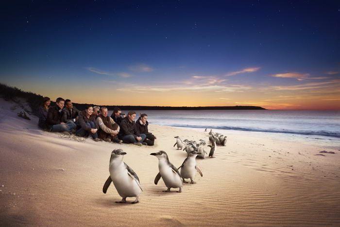 phillip island penguin parade penguins plus