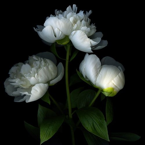 15 Most Beautiful Black Flowers: 25+ Best Ideas About White Flower Wallpaper On Pinterest