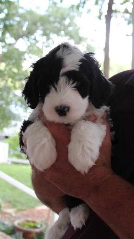Taco the Portuguese Water Dog on Puppystream.me! ~ WOW, THIS ONE HAS A LOT OF WHITE FUR, LIKE  IT ~