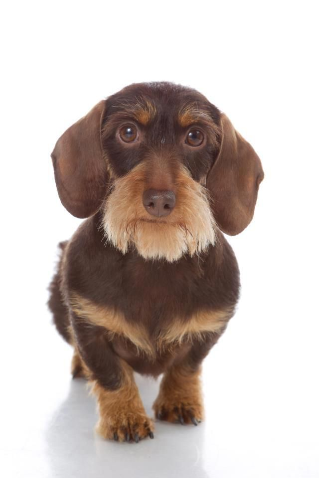 Cute Wirehaired Dachshund Wirehaired Wirehaired Dachshund Sausage Dog Dachshund Puppy Doxie Weiner Dog Mini Dachshun Wire Haired Dachshund Weenie Dogs Dog Love