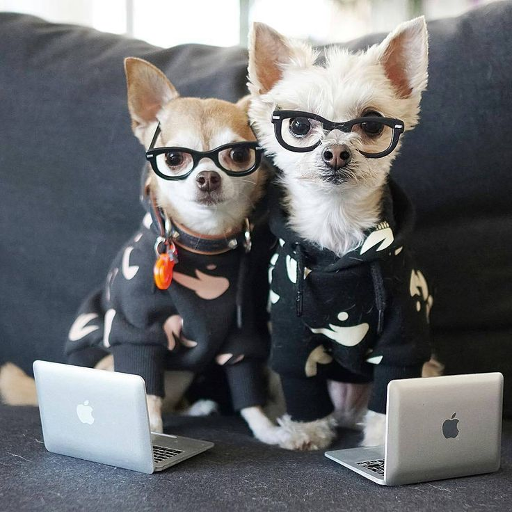 """447 Likes, 10 Comments - Chihuahua Island (@chihuahuaislander) on Instagram: """"Back to work vibe from @ellabeanthedog - beans on that 2018 grind. #youbetterwerk #backtowork…"""""""