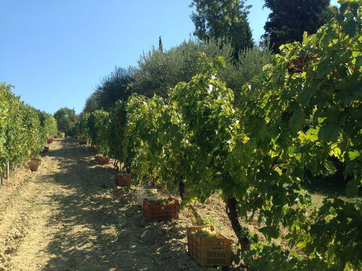 Profumo di vendemmia. #vendemmia #uva #vino #campagna #settembre #harvest #vineyard #grapes #wine #September #rimini #romagna #autunno #autumn