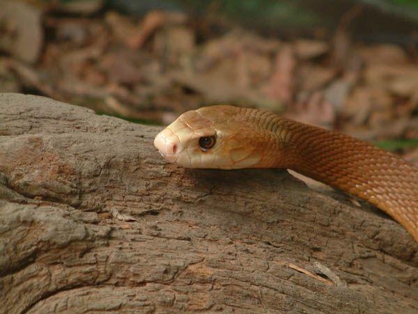 8505ca830671ce Australia Zoo Animals - Reptiles - Venomous Snakes - Taipan