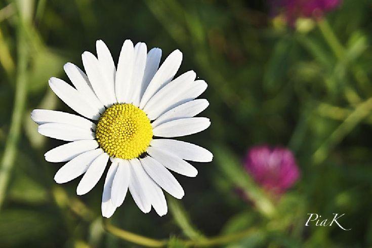 Daisy... by PiaK