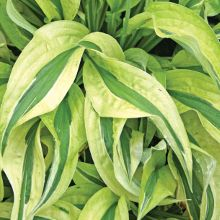Hostas for sale buy Hosta 'Cabaret'