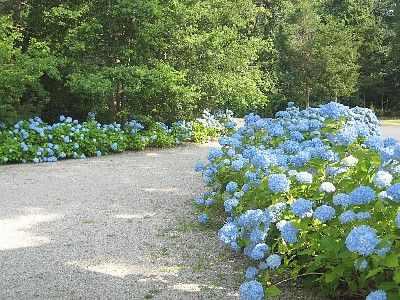 Driveway lined with hydrangeas.