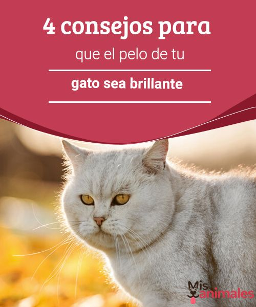 4 consejos para que el pelo de tu gato sea brillante - Mis animales  En este artículo te daremos algunos consejos para que el pelo de tu gato sea brillante... ¡Podrá hasta ganar un certamen de belleza!