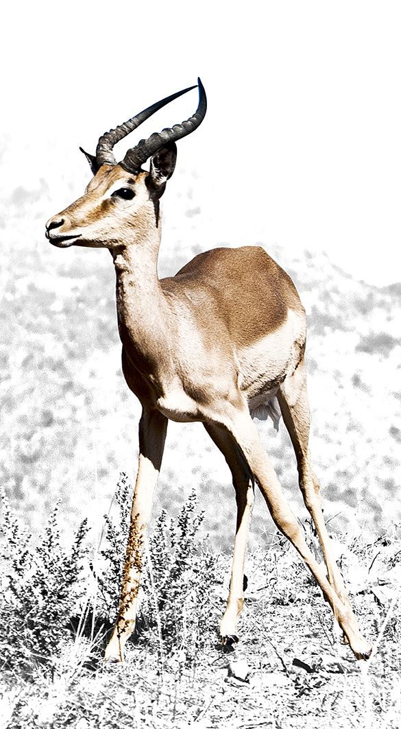 Impala | Canvas Print | Order online at ngunigalore.com - Delivery is FREE to anywhere in SA!