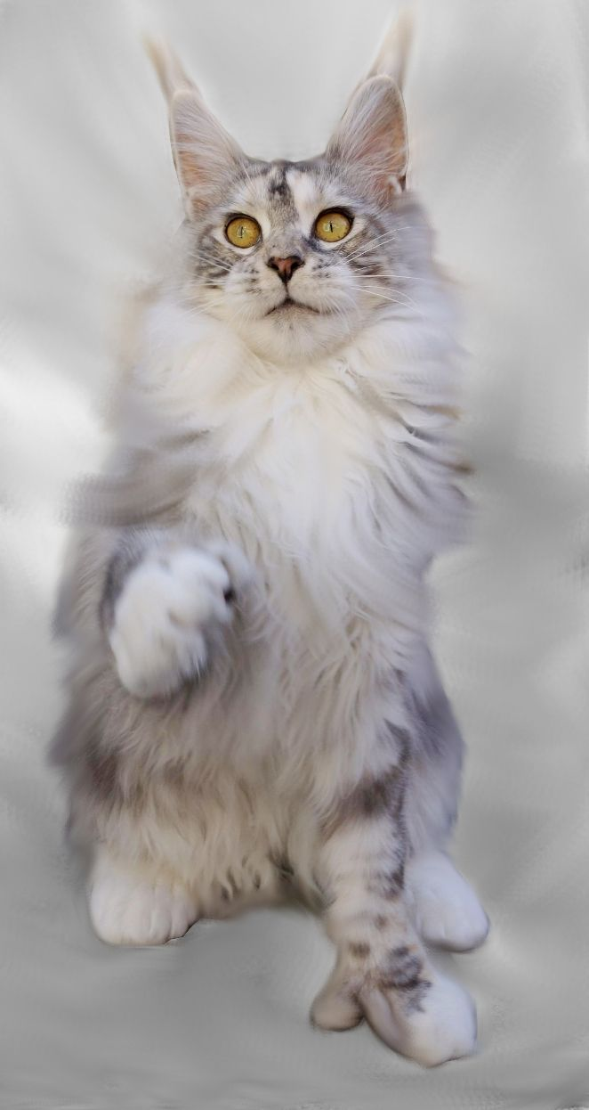 1000  images about maine coon cats on pinterest