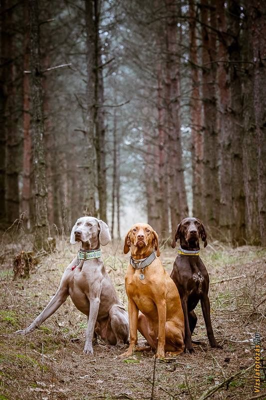 beautiful ~ weimaraner, vizsla, and german shorthair pointer <3 ~ There is just too much adorableness in this photo I just can't stand it. <3