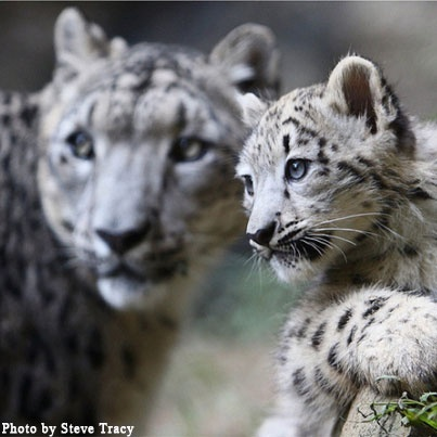 Snow leopard cub & mom looking furtively into the distance.