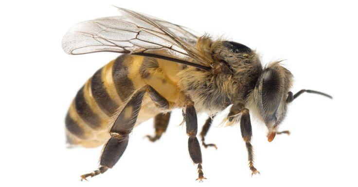 Cómo hacer un ahumador casero para abejas. El ahumador se utiliza para distraer a los habitantes de una colmena y así poder sacar o sustituir la miel del panal. Éste se compone de una cámara de metal en la cual se quema un combustible seguro para formar humo denso, el cual aviva y mantiene su fuerza. El humo es forzado a salir por la abertura de la tapa superior y es dirigido hacia las ...