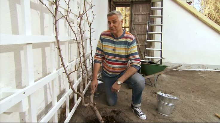 Ernst sätter päronträd i spalje - Sommar med Ernst - tv4.se