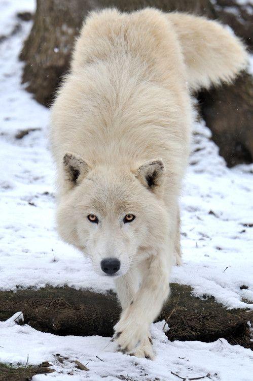 thatwanderinglonewolf:  Arctic Wolf Approach by Josef Gelernter