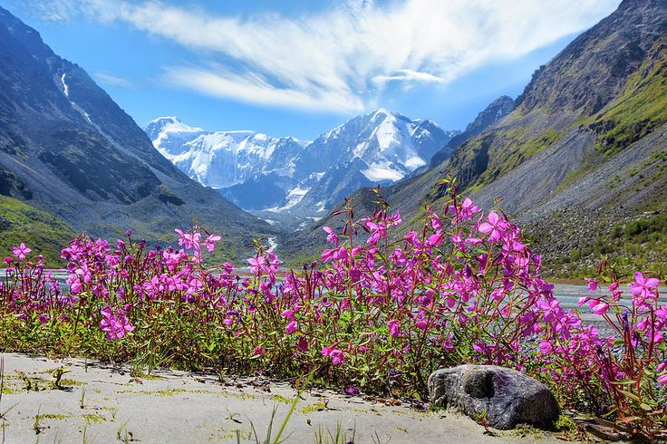 Flowers Of The Mountains, Altai  by Victor Kovchin