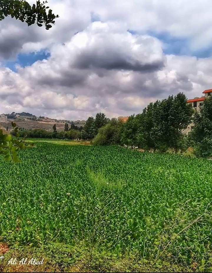 حقل تبغ من وادي فخر الدين النبطية جنوب لبنان Farmland Vineyard Outdoor