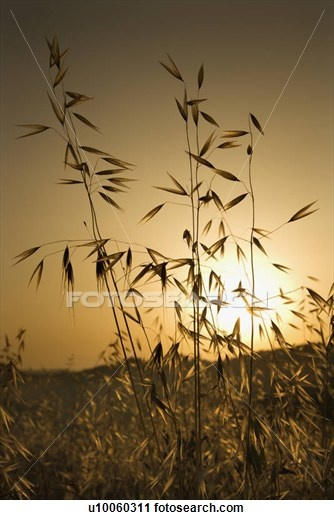 Oat plants growing in field at sunset in Tuscany, Italy.