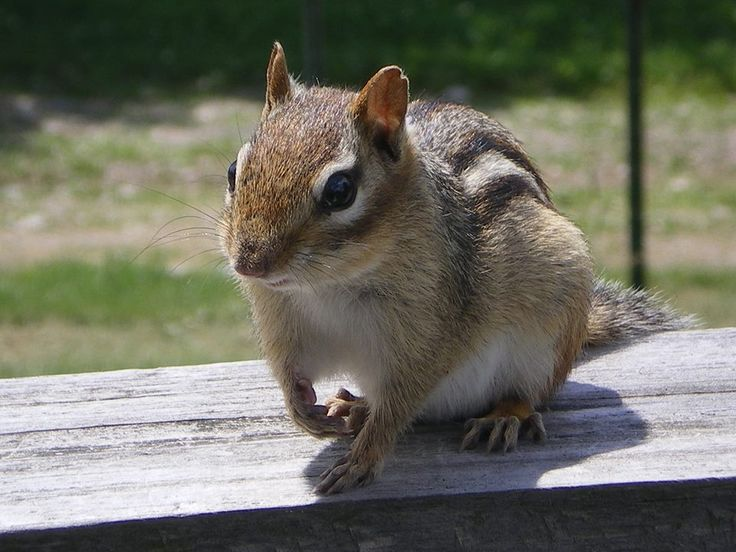 Chipmunk ready for his close up in Balsam Lake Provincial Park