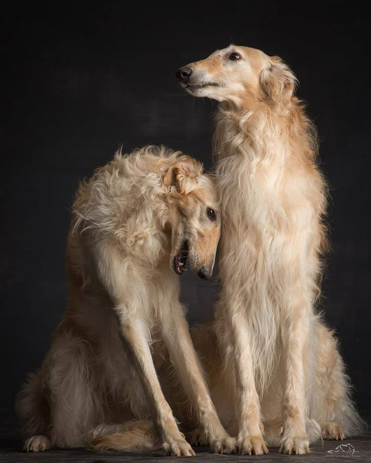Borzoi. By Paul Croes.