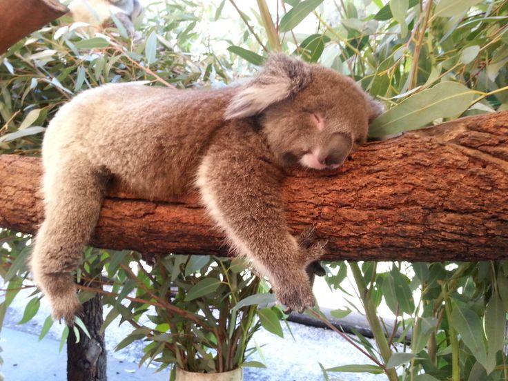 Beautiful Sleeping Baby Koala