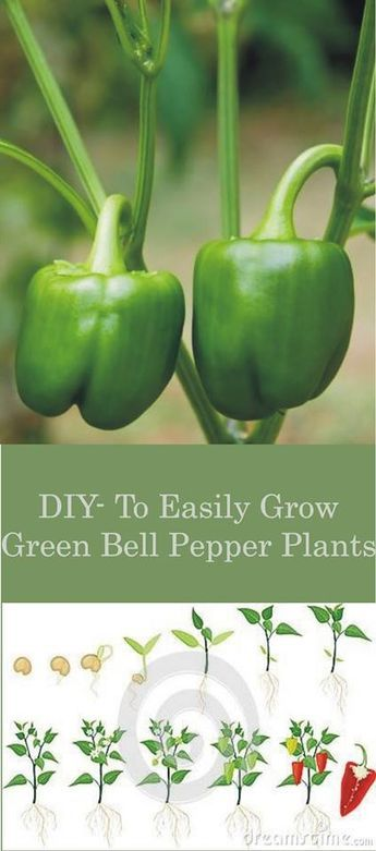 DIY - HOW TO EASILY GROW GREEN BELL PEPPER PLANTS #diy #grow #green #bell #pepper