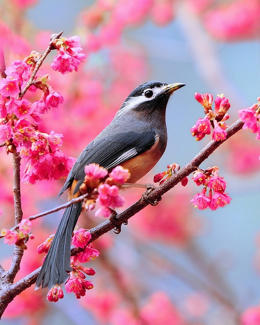 White-eared Sibia - by Sushyue Liao