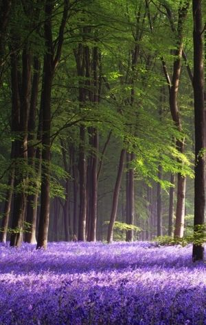 Lavender. What a beautiful picture to set alongside one of a bluebell dell.