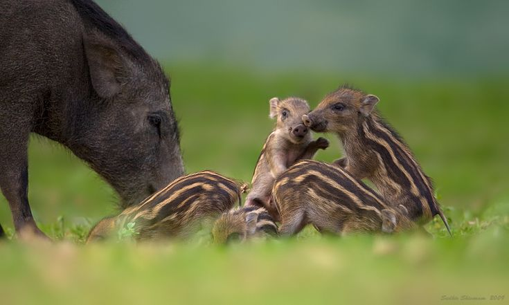 Wild Pig Family at Bandipur  Photo: Sudhir Shivaram