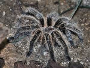 chilean rose tarantula - Yahoo Image Search Results