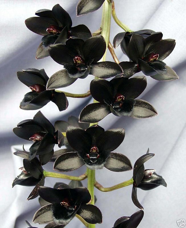 Orquídeas negras. Fredclarkeara After Dark, híbrida de Mormodes Painted Desert X Catasetum Donna Wise.