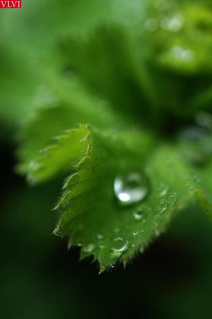 15-06 | Teardrops on my pillow... De meestbesproken en opvallendste eigenschap van de Alchemilla Mollis is ongetwijfeld de eeuwige traan op het blad. Maar behalve gevoelig, is deze plant ook zooo....zacht. (mollis =zacht)