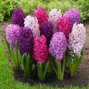 Hyacinth Bulbs for Sale