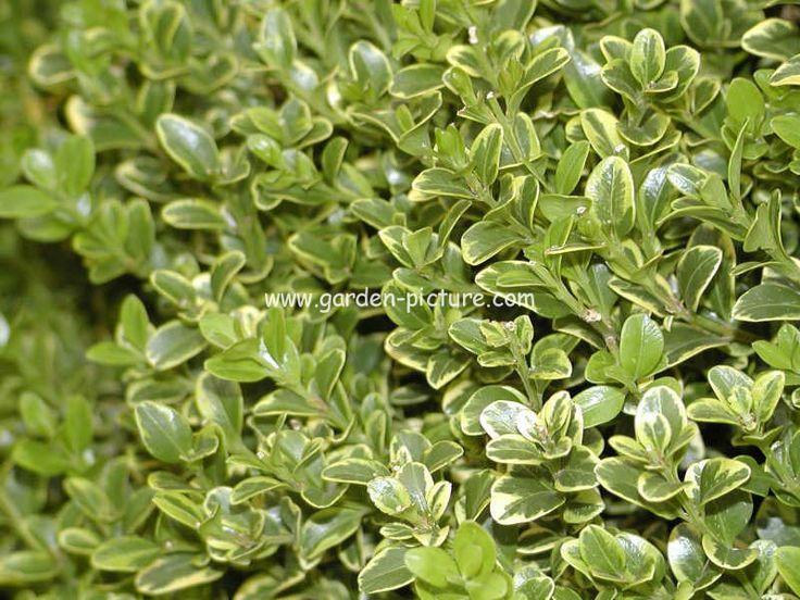 (S1) Buxus microphylla 'Golden Triumph' golden variegated box Small evergreen shrub