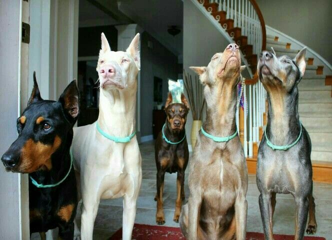 Majestic Dobermanns...I ♡ this breed dog!