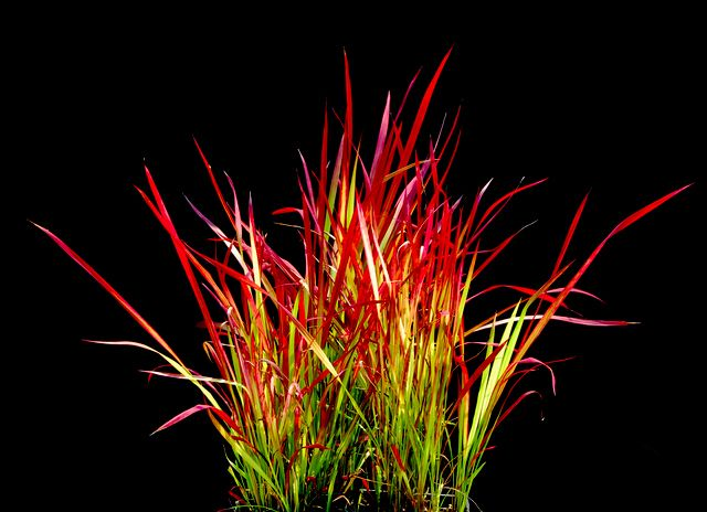 best ornamental grass ideas images on, Natural flower