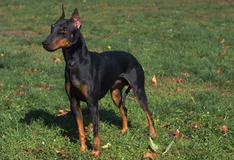 "The Manchester Terrier is a lively, sharp witted breed that is eager to learn. The breed is extremely loyal to its owner(s) and forms a strong bond early on. Since it is a terrier breed, the Manchester has a tendency to test boundaries, making consistency important in any form of training. This is not a ""barky"" or neurotic breed, but they are good watchdogs. They do well in rural and urban environments."