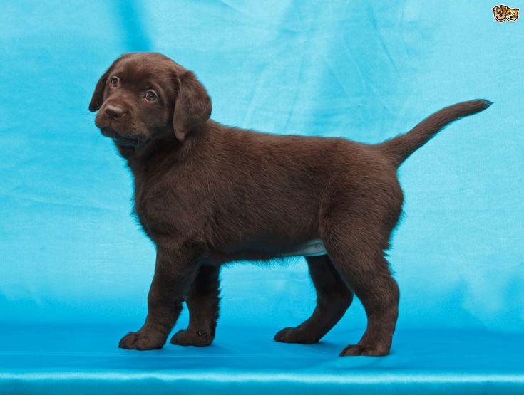 Labrador Retriever Dog Breed Facts, Highlights & Buying