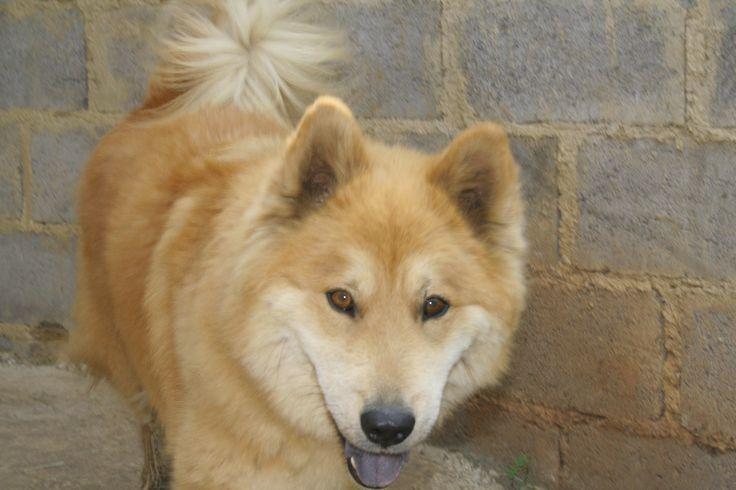 621_Pascha. 2 Year old caramel husky cross chow female. The most divine nature. She loves kids. Jasper@huskyrescue.co.za