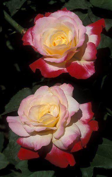 'Double Delight' Hybrid Tea Rose