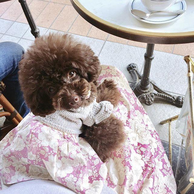モナコのニット類を👚 ようやくお手入れしてしまいました📦 👚 また冬に気持ちよく✨ 。。。いえいえ!サイズキープ🐻で 着られますように😉🙏😁 👚 写真は、カーディガンの着納め。 私に同化して喜んでいるモナコ💕🐻💕 と!思いたい😁💦 👚 #トイプードル#トイプードル部#トイプードルブラウン#犬のいる暮らし#日々のこと#可愛い#かわいい#愛犬#丁寧な暮らし#暮らしを楽しむ#犬バカ部#ふわもこ部 #ハンドメイド#犬服#リバティ#手編み#happytime#toypoodlelove#toypoodlegram#toypoodle#cutedog #instadog #dogstagram#doglovers#dog#lovemydog #handmade#dogwear#토이푸들#멍스타그램