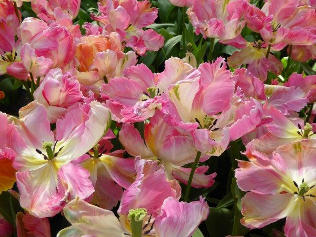 jardin_des-tulipes-hollande_keukenhof (4)