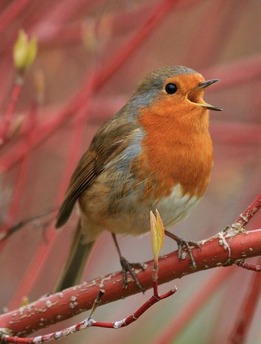 I love to hear a robin singing--it often means that spring has arrived or that a good needed rain is on its way.