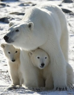 Have You Experienced Viewing This Magnificent Creature? Hundreds of photographers, tourists and wildlife watchers travel to Churchill, Manitoba...