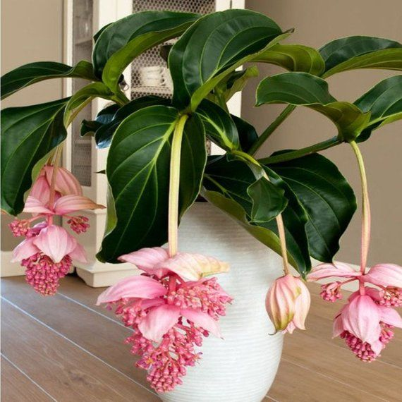 Amazing Medinilla magnifica 30 Pcs Seeds Home Garden Beautiful Plant Flower BUY 3 GET 2 FREE