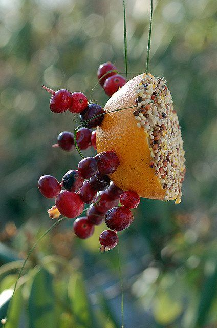 Mangeoire fruitée pour nos oiseaux. / Bird feeder.